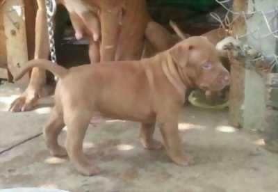 Bán chó American Pitbull