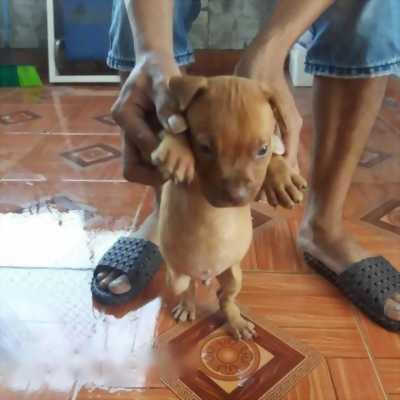 Bán chó Pitbull