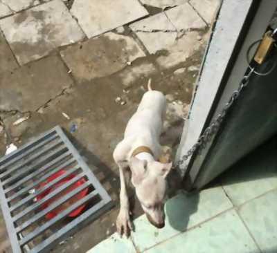 Cần bán chó pit bull