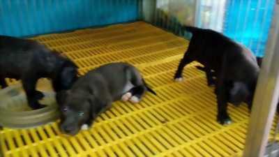 Bán chó Pitbull đen hơn hai tháng