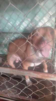 Bán chó Pitbull thuần chủng được 10 tháng