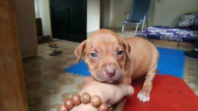 Xuất chuồng đàn Pitbull 6 bé được 42 ngày