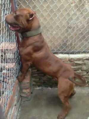 Tìm chủ mới cho cún Pitbull size đại