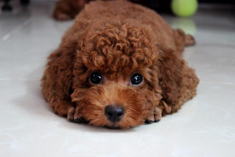 Những điều cần biết về thú cưng Toy Poodle
