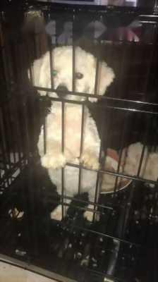 Bán con chó poodle màu trắng kem đều là cái