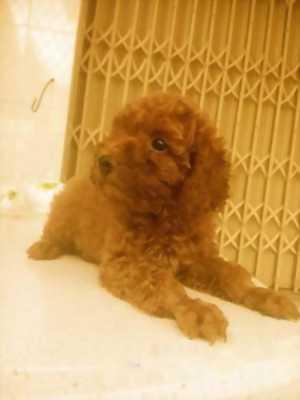 Chó Poodle tiny nâu đỏ thuần chủng đực