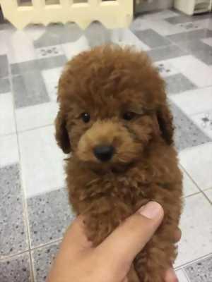 Tini poodle màu nâu đỏ