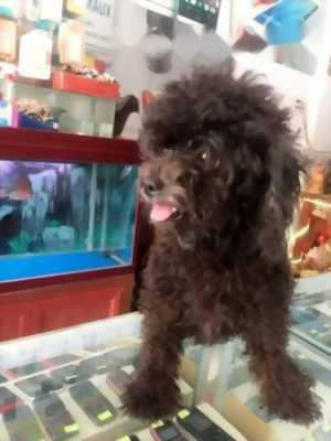 Muốn bán Poodle