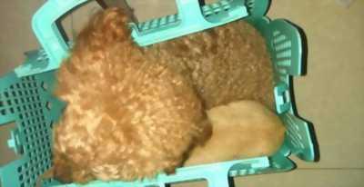 Bán Chihuahua và Poodle