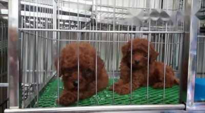 Chó poodle màu nâu đỏ đậm