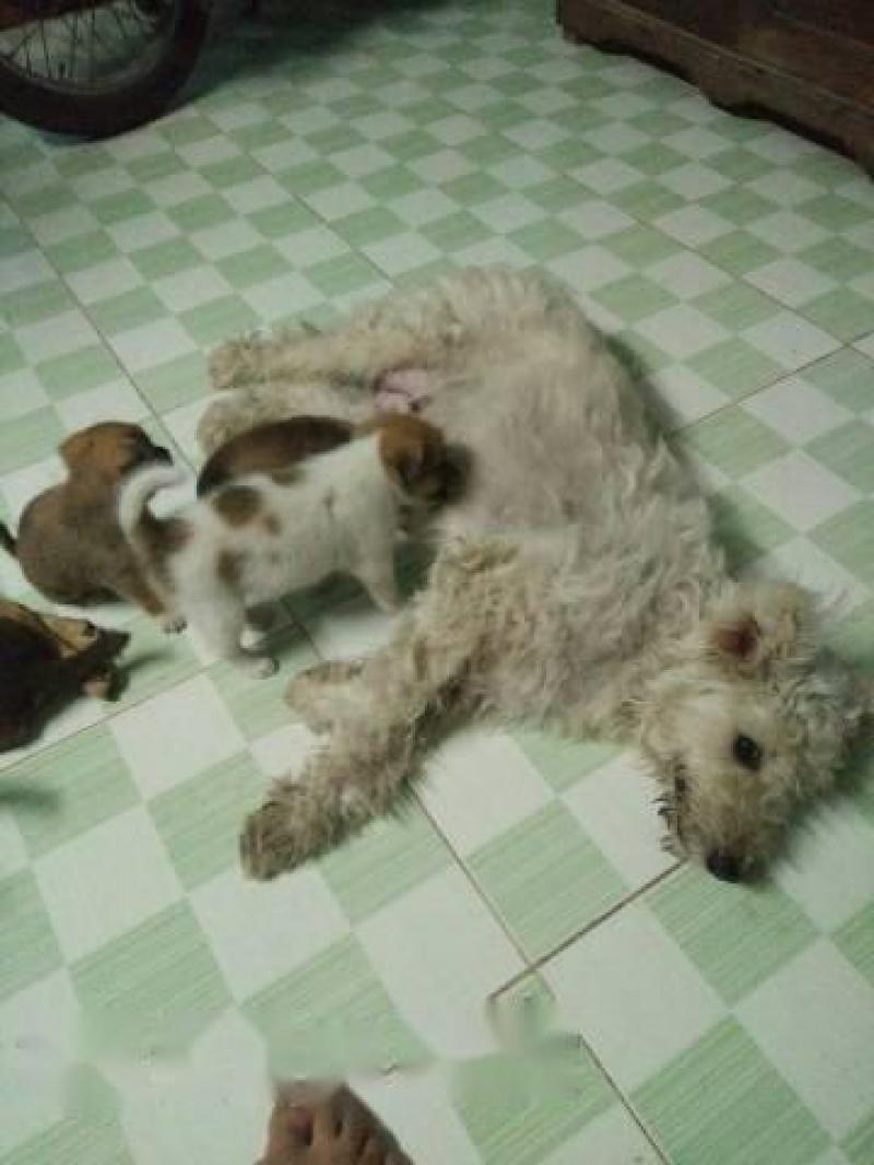 Chó xù lai Poodle