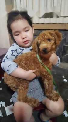Poodle sáu tháng tuổi.  Gần chủ và rất thông minh