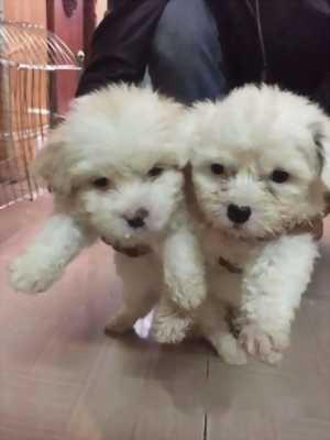 Cần bán em Poodle lai Nhật