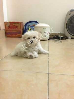 Chuyên bán chó Poodle