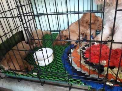 Bán gấp chú chó poodle thuần chủng siêu cute