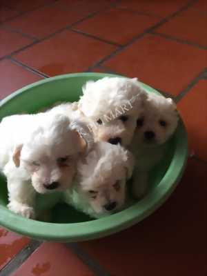 Cần bán bầy Poodle trắng tinh không tì vết