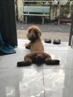 Chó poodle giống đực thuần chủng