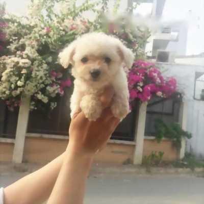 Cần bán em Poodle trắng tinh