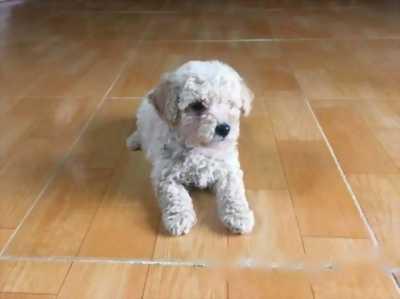 Bé Poodle size tiny xinh yêu như chó bông cần bán