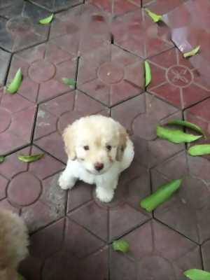 poodle đực hai tháng tuổi