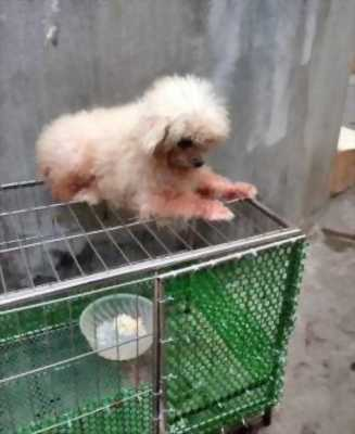 Cần tìm chủ mới cho em Poodle cái sắp salo