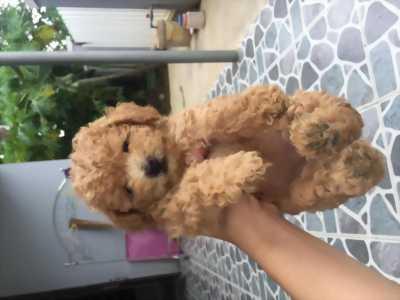 Chó Poodle thuần chủng tiny giá sinh viên