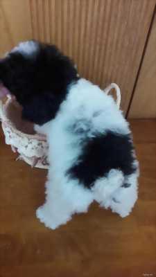 Poodle bò sữa đực 8 tháng