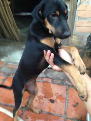 Bán chó rottweiler lai becgie