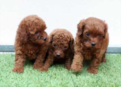 Bán gấp em chó Poodle siêu cute với giá vừa túi tiền.
