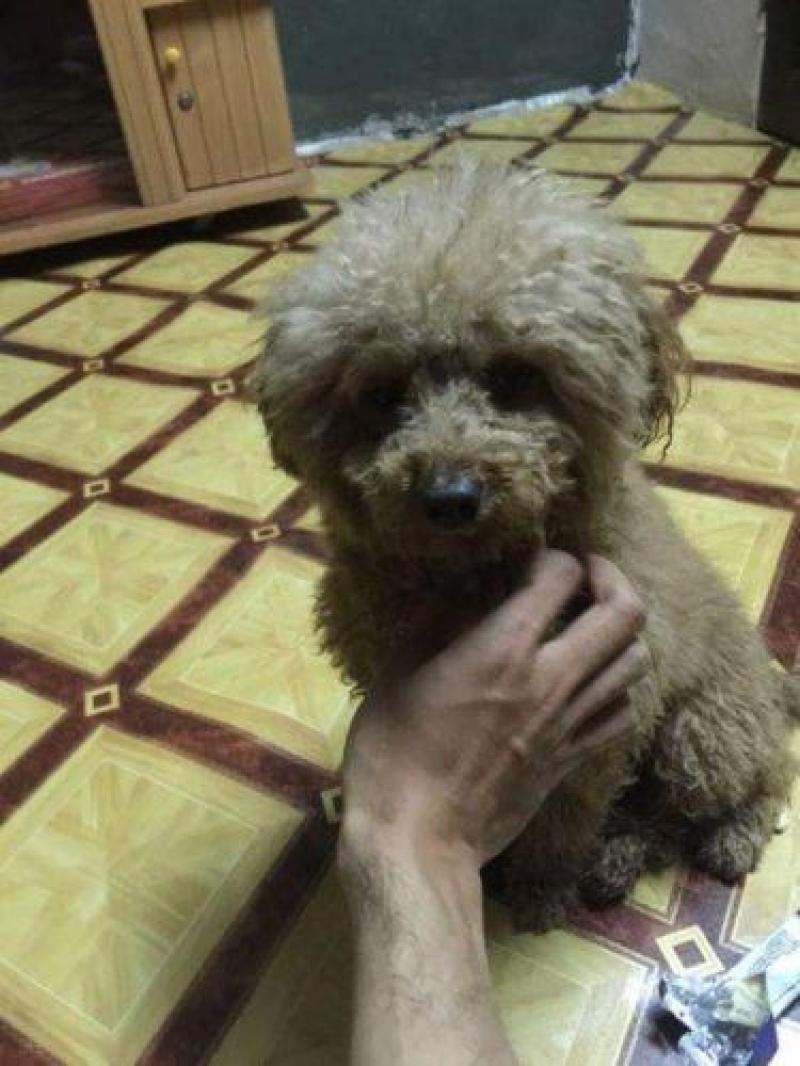 Bán chú chó Poodle đực lai