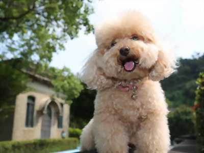 toy poodle.