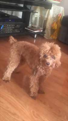Cần bán Poodle 9 tháng tuổi