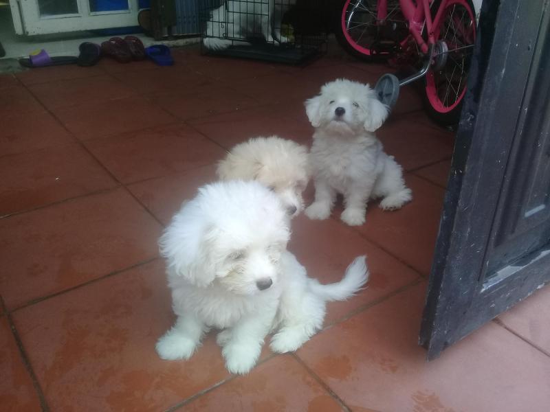 Bán chó poodle con hơn 2 tháng tuổi