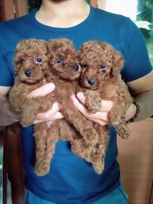 Poodle tiny cute