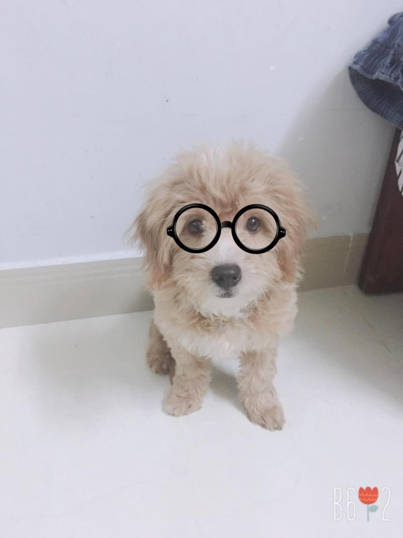 Chó lai poodle