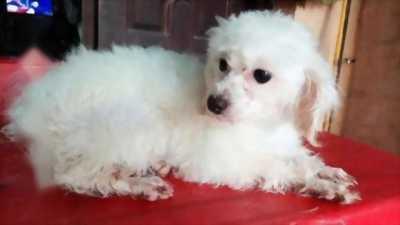 Poodle trắng tinh k tỳ vết 10 tháng