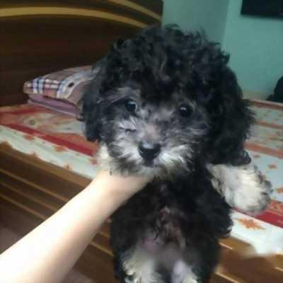 Mình cần bán lại em cún poodle tiny mặt cực xinh với giá tốt