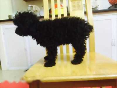 Cần nhượng lại chó poodle tiny cái, sức khỏe tốt giá hữu nghị
