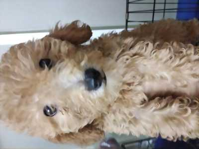 Poodle Tiny Toy