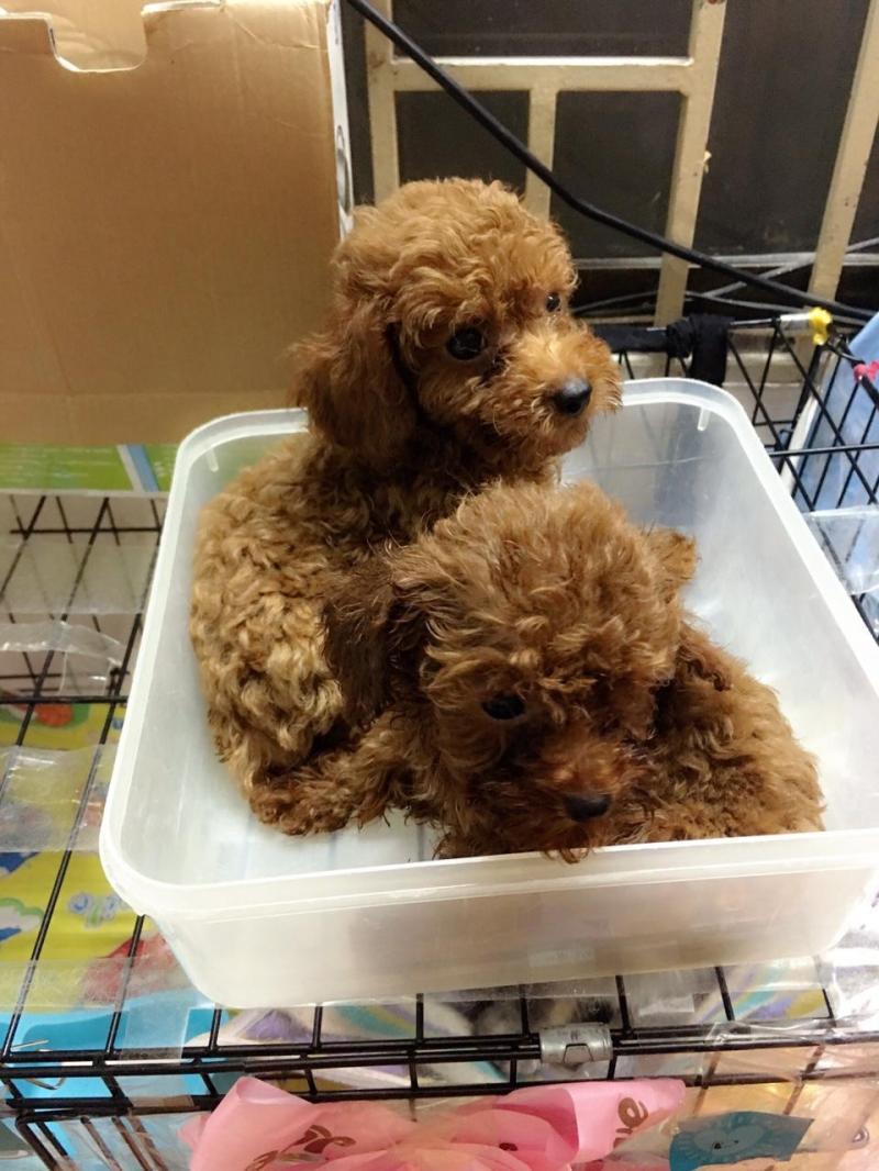 Các bé poodle đực 2 tháng cần tìm chủ mới