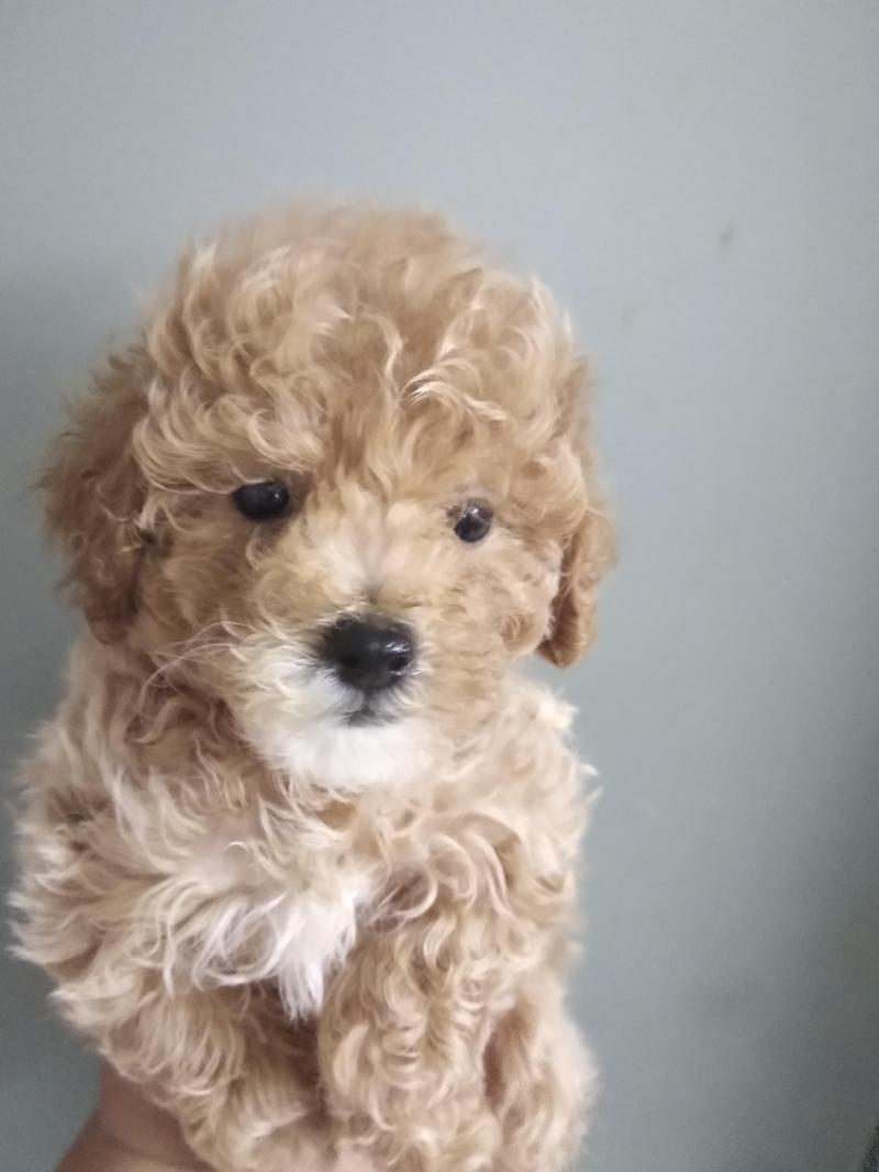 Tiny poodle