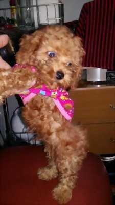 Cún tiny poodle thuần chủng tại Sài Gòn