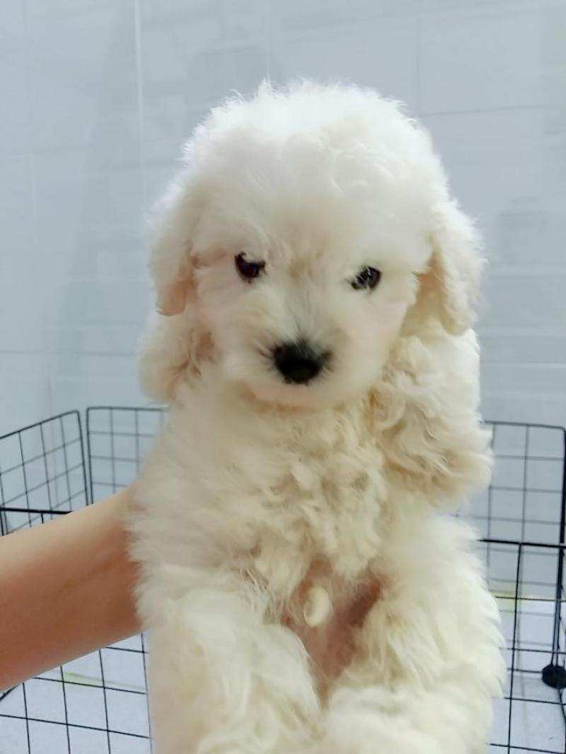 Bán chó Poodle thuần chủng tại Quận 3