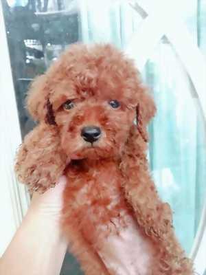 Bán chó Tiny, Toy Poodle tại HCM