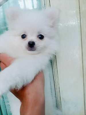 Bán chó TINY Poodle tại Quận 3