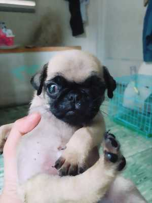 Tiny& Toy Poodle , Pug Mặt xệ tại SG