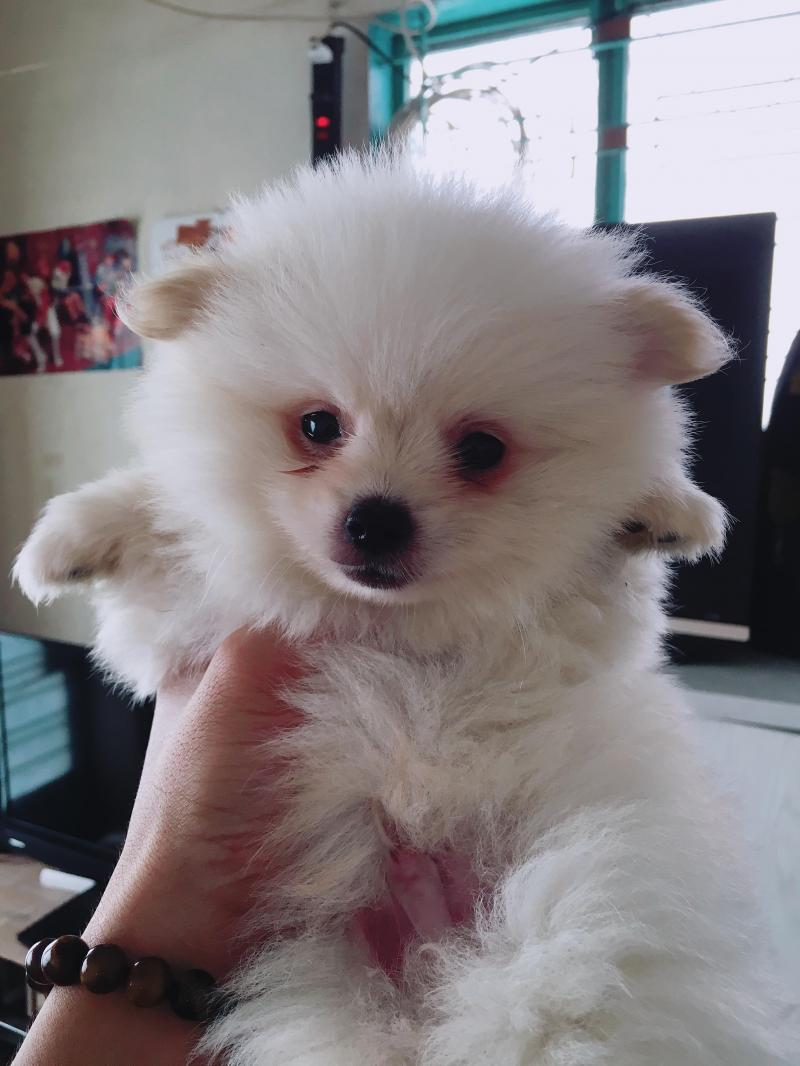 Tiny Poodle , Phốc sóc tại SG