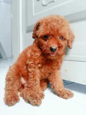 Tiny Poodle ngày TT sài gòn