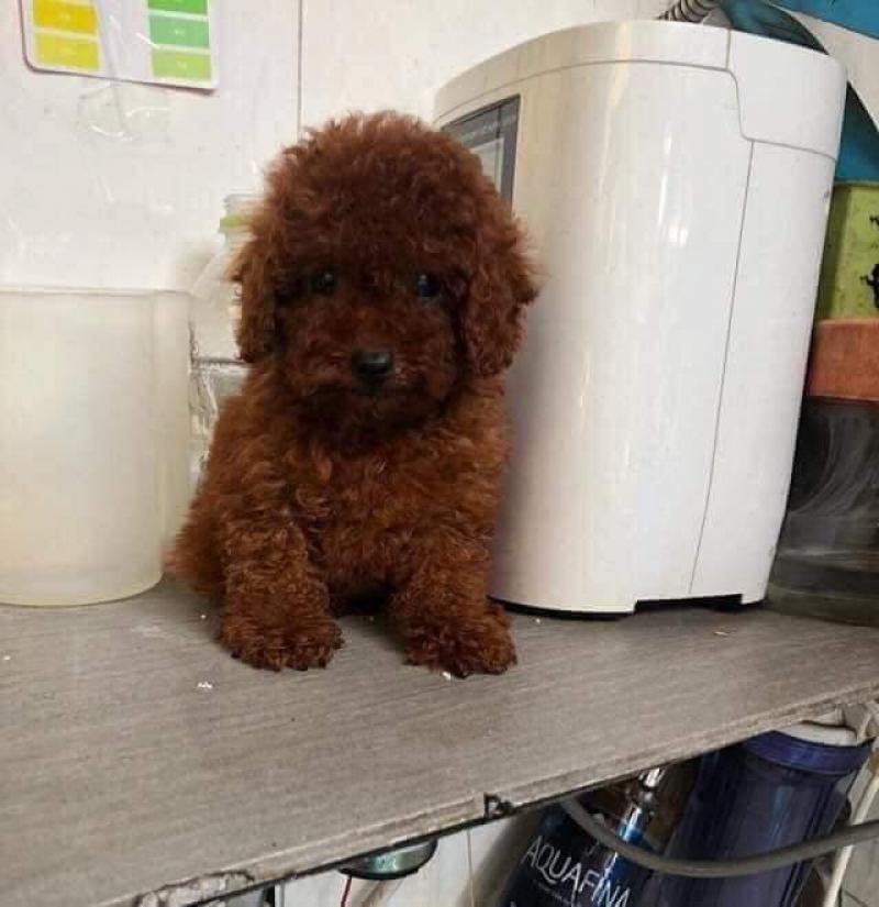 Chó nhà đẻ tại SG