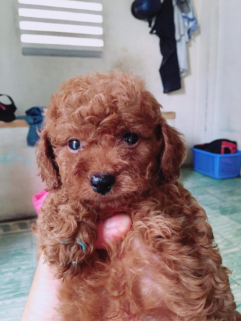 Tiny Poodle tại Quận 3